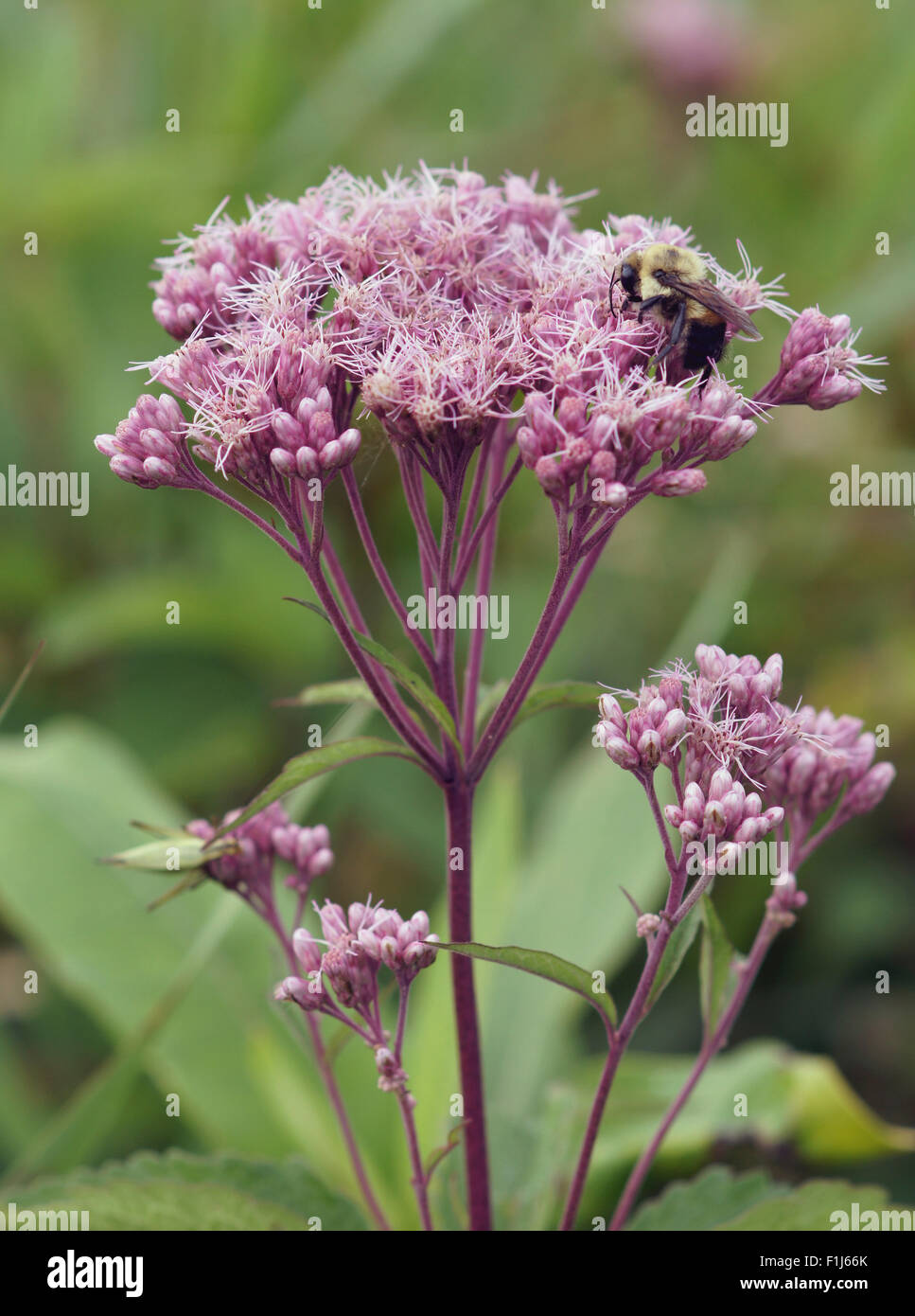 Spotted Joe-pye-weed (Eupatorium maculatum) flower being pollinated by a wild bumblebee. - Stock Image