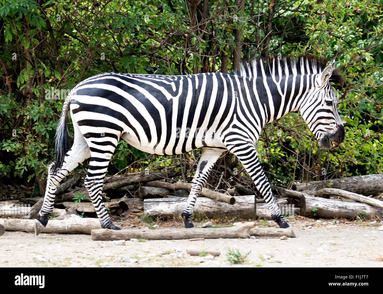 A zebra walking in the zoo - Stock Image