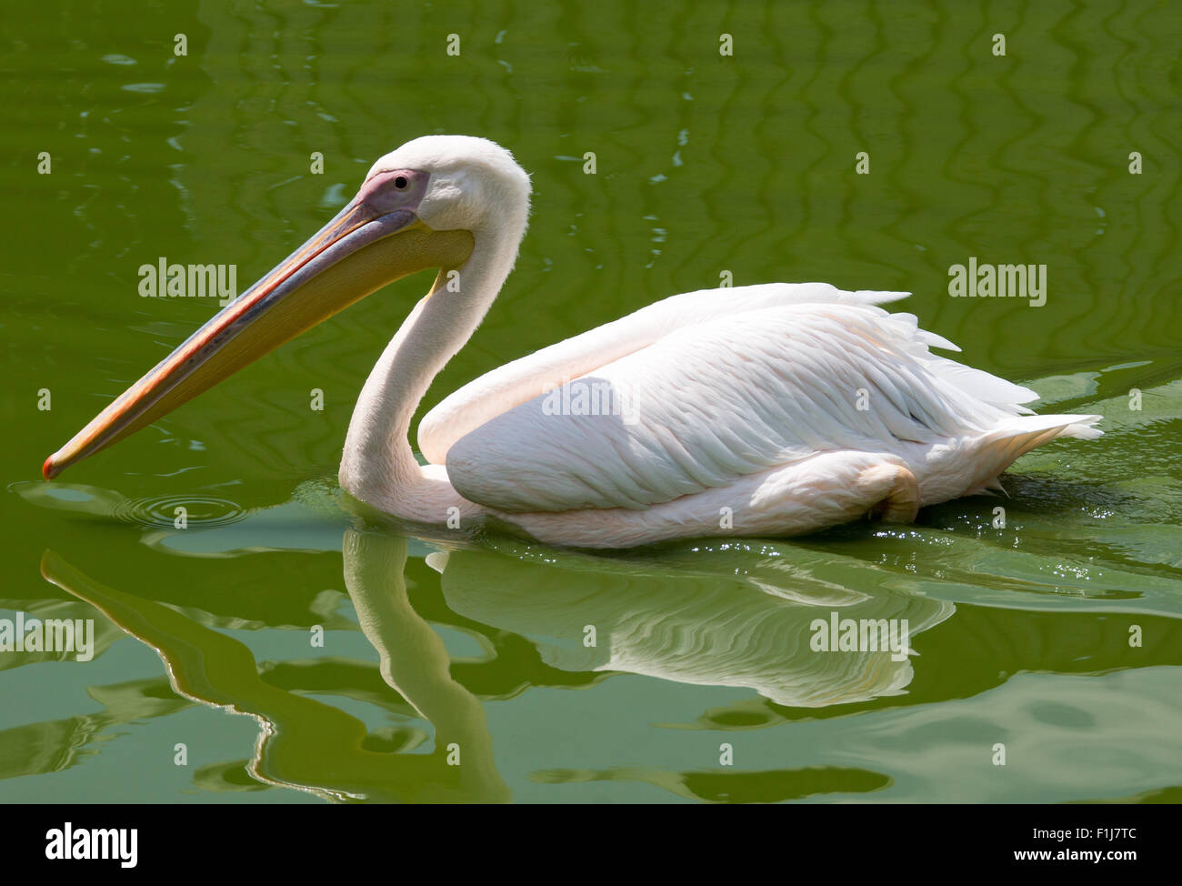 A pelican swimming in the water - Stock Image