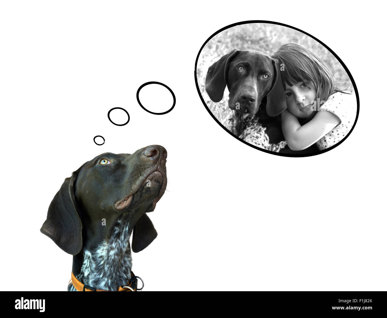 Conceptual image of german short hair pointer dreaming about the fun with his friend - Stock Image