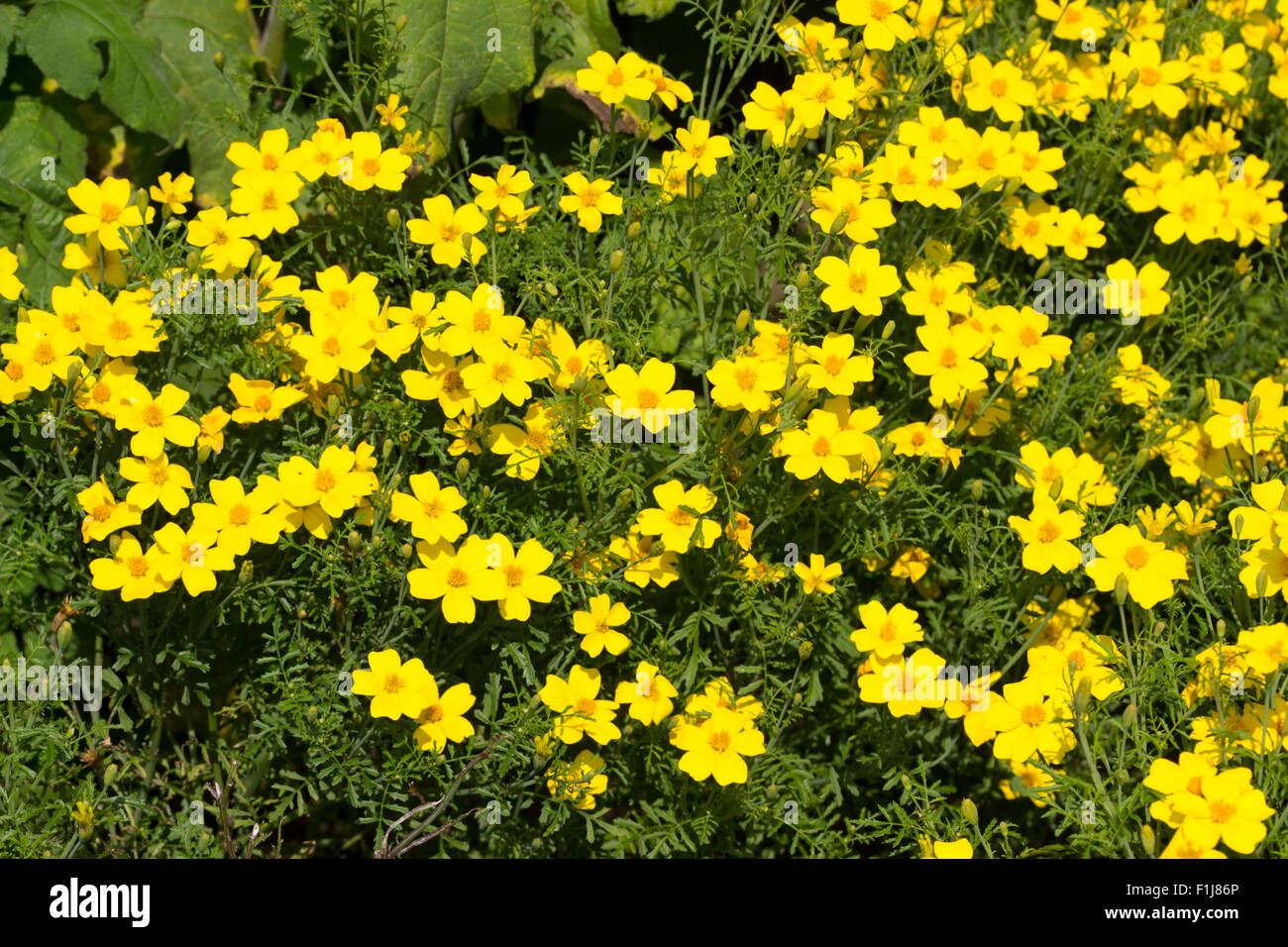 Golden centred yellow flowers of the half hardy perennial bidens golden centred yellow flowers of the half hardy perennial bidens aurea often used as summer bedding mightylinksfo