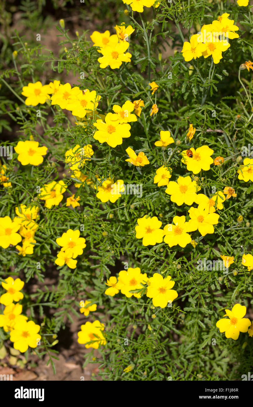 Golden Centered Yellow Flowers Of The Half Hardy Perennial Bidens