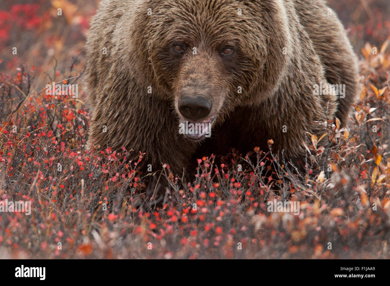Grizzly bear (Ursus arctos) sow in autumn tundra of dwarf birch, willow, blueberry and soap berry, Denali National - Stock Image