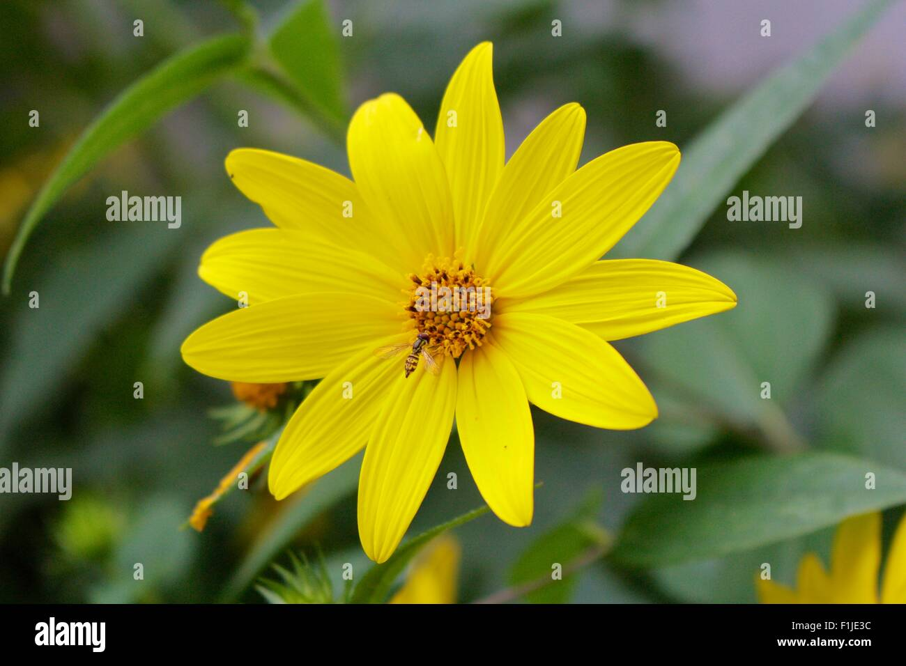 Woodland sunflower with hoverfly. - Stock Image