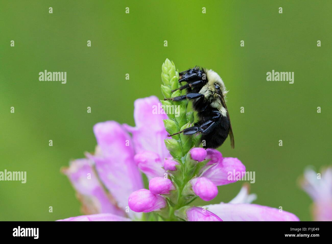 Bumblebee on obedient plant flower bud - Stock Image