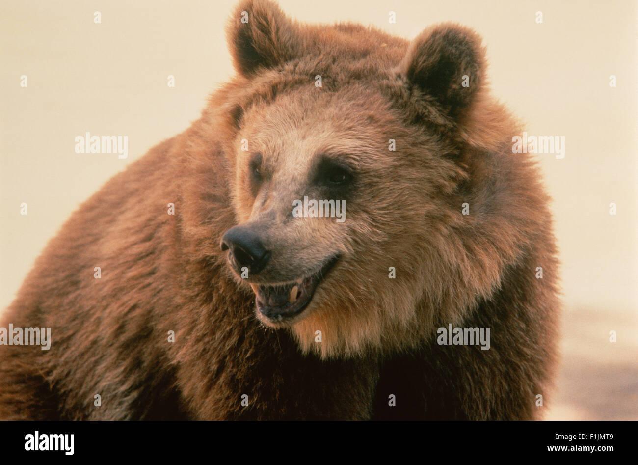 Growling Bear - Stock Image