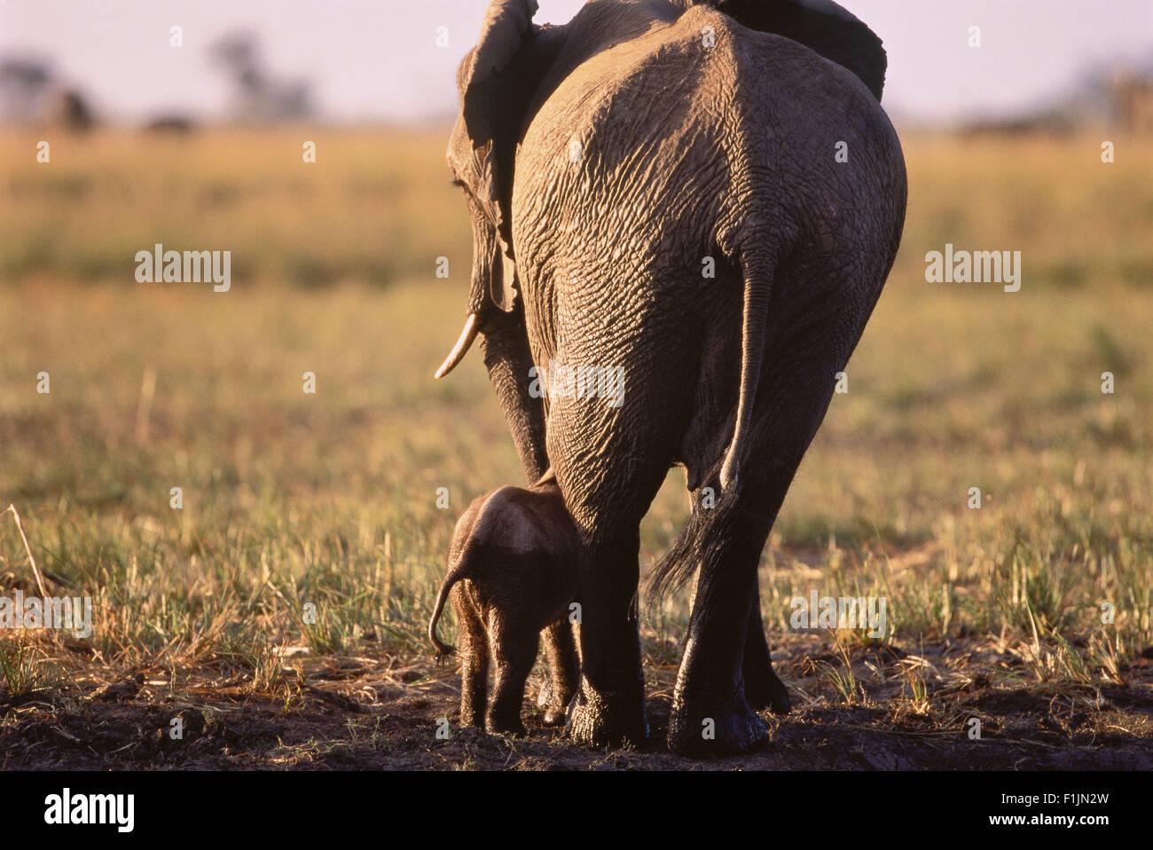 Elephant with Calf Savuti Region, near Chobe Botswana, Africa Stock Photo