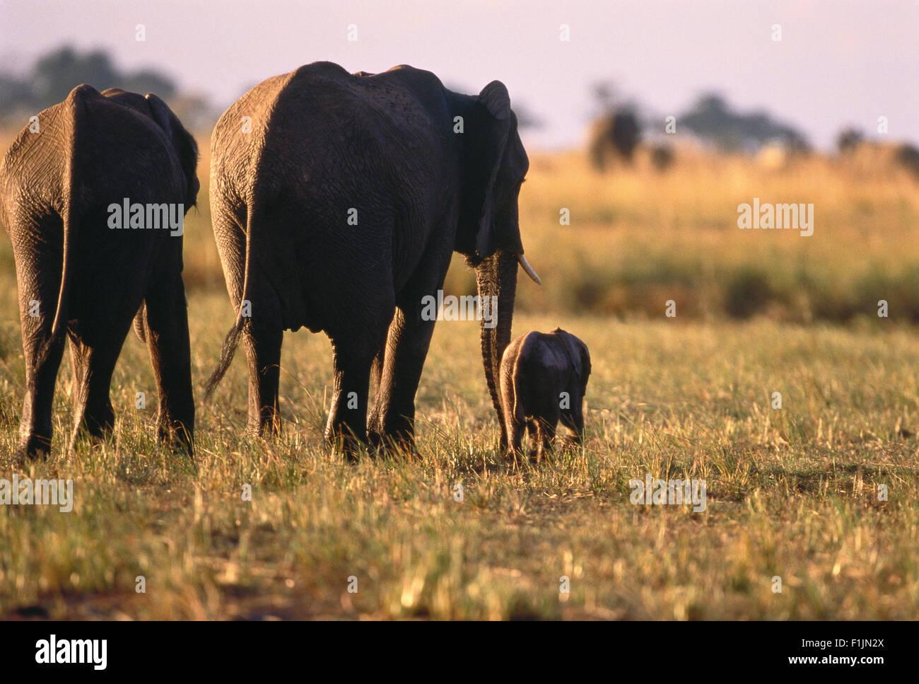 Elephants with Calf Savuti Region, near Chobe Botswana, Africa Stock Photo