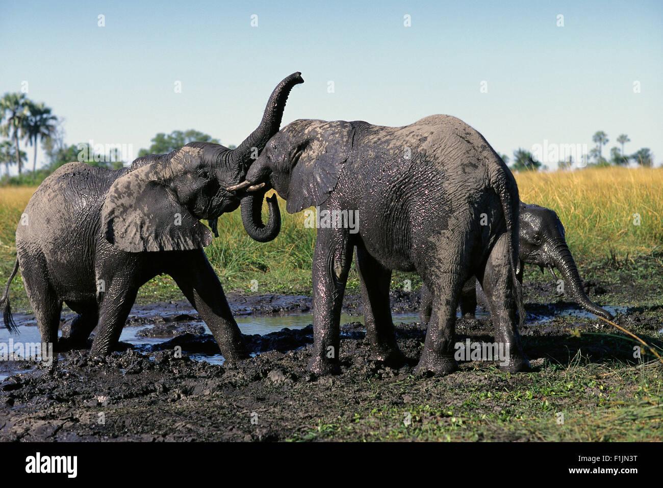 Elephants Playing in Water Hole Okavango delta, Botswana, Africa - Stock Image