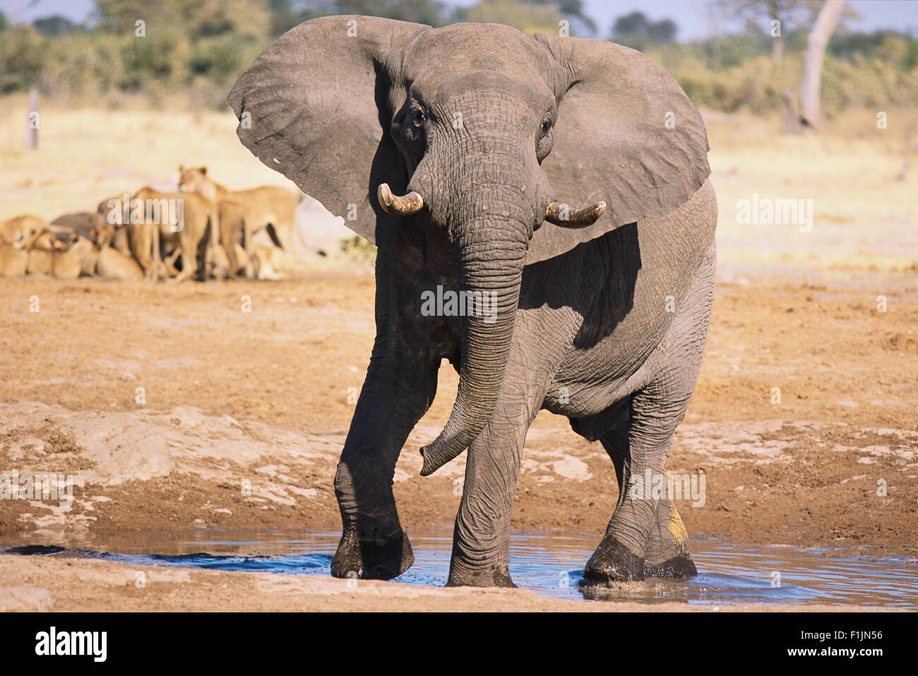 Elephant at Watering Hole Stock Photo