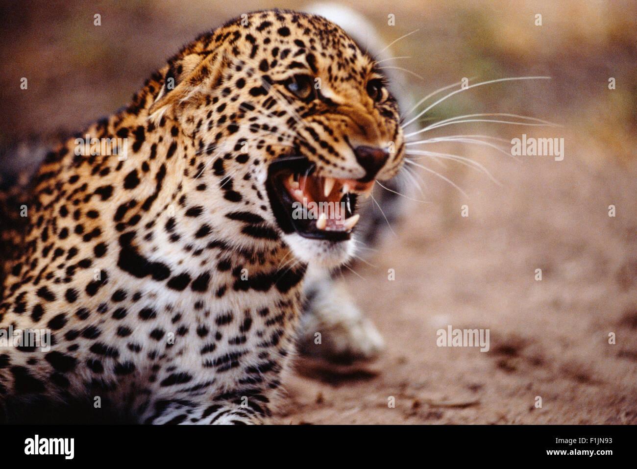 Leopard Snarling - Stock Image