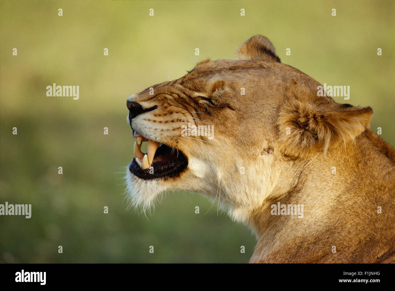 Lioness Growling - Stock Image
