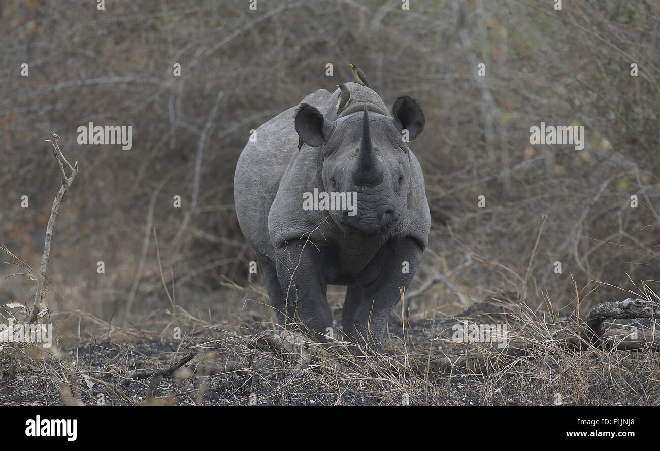 Rhino in the bushveld, tickbirds feeding on its back - Stock Image
