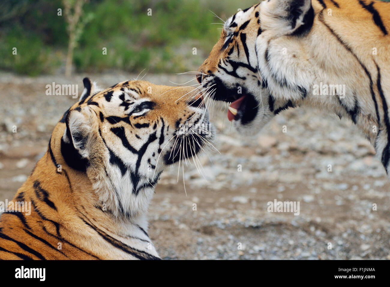 Tigers Touching Noses - Stock Image