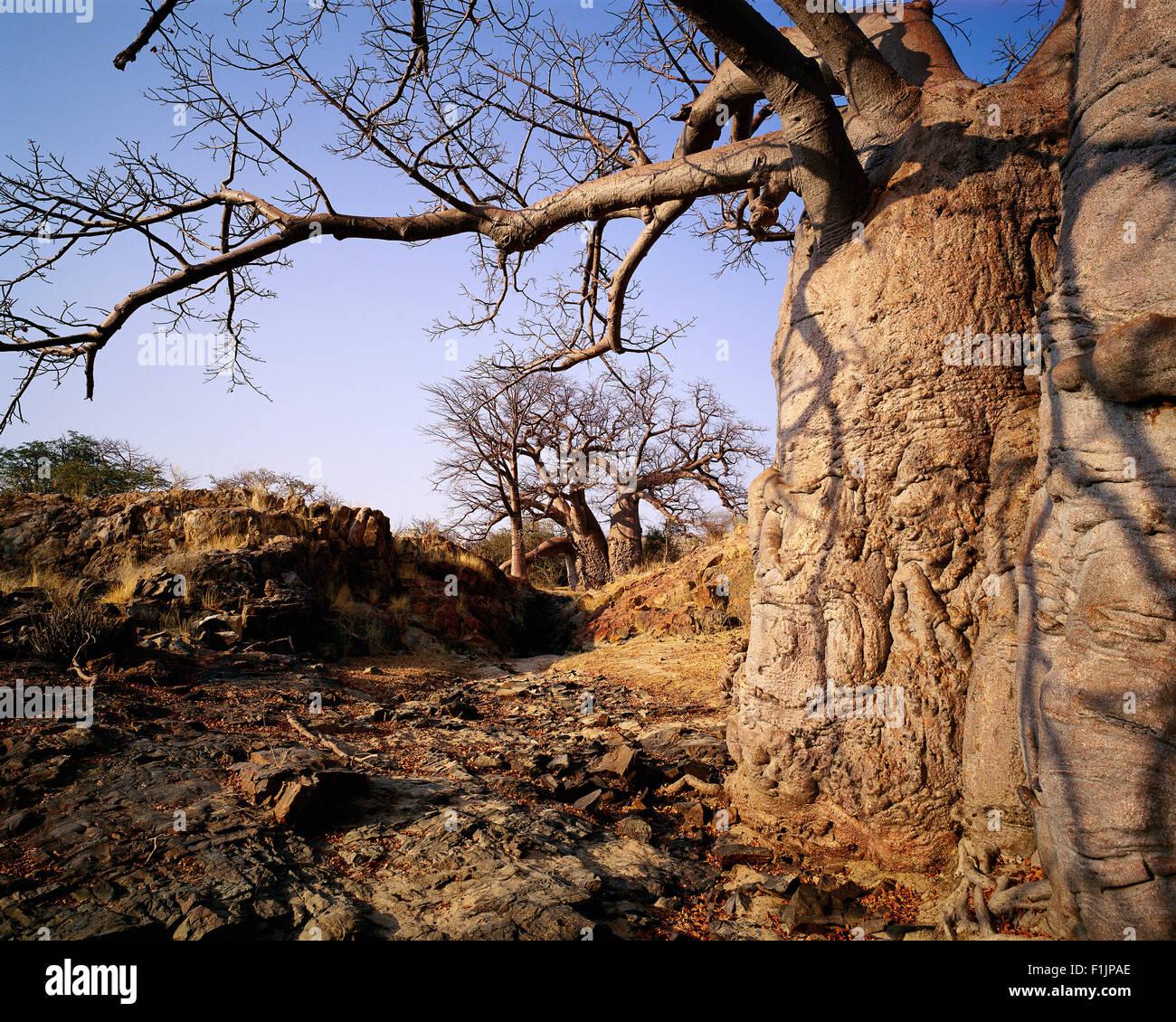 Baobab Tree near Kunene River Epupa Falls, Angola, Africa - Stock Image