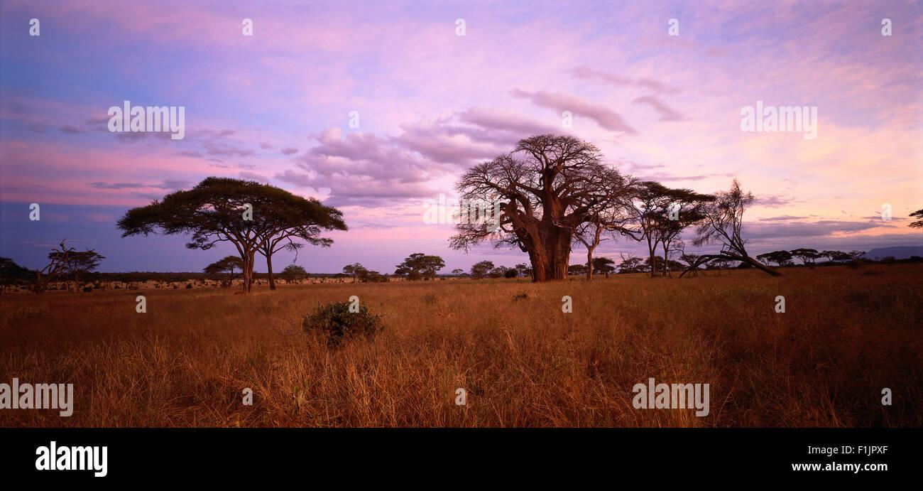 Baobab Tree and Field Tarangire, Tanzania, Africa - Stock Image