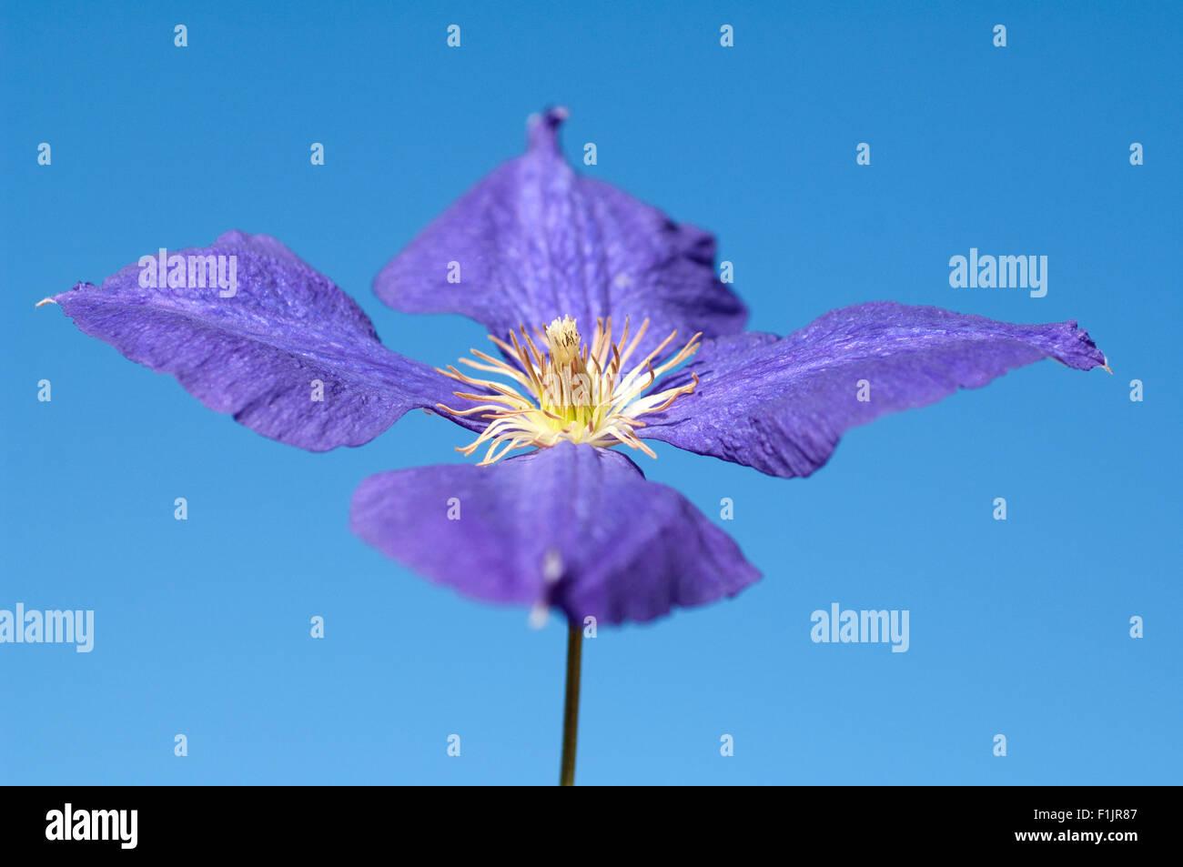 Clematis; Jackmanii; Clematis-Hybride; - Stock Image