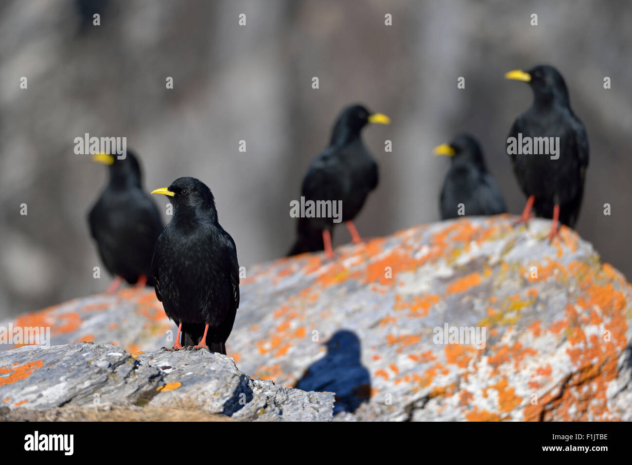 A flock of Alpine Chough / Alpendohle ( Pyrrhocorax graculus ) sitting on lichens covered stones. - Stock Image
