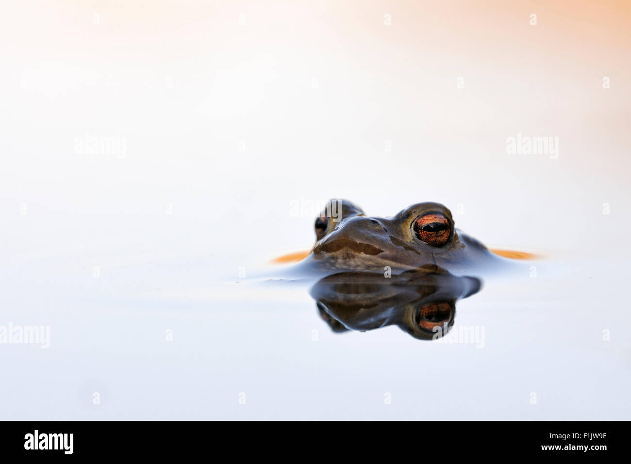 Common Toad / Erdkroete ( Bufo bufo ) floats on beautiful water surface waiting for its mate. Stock Photo