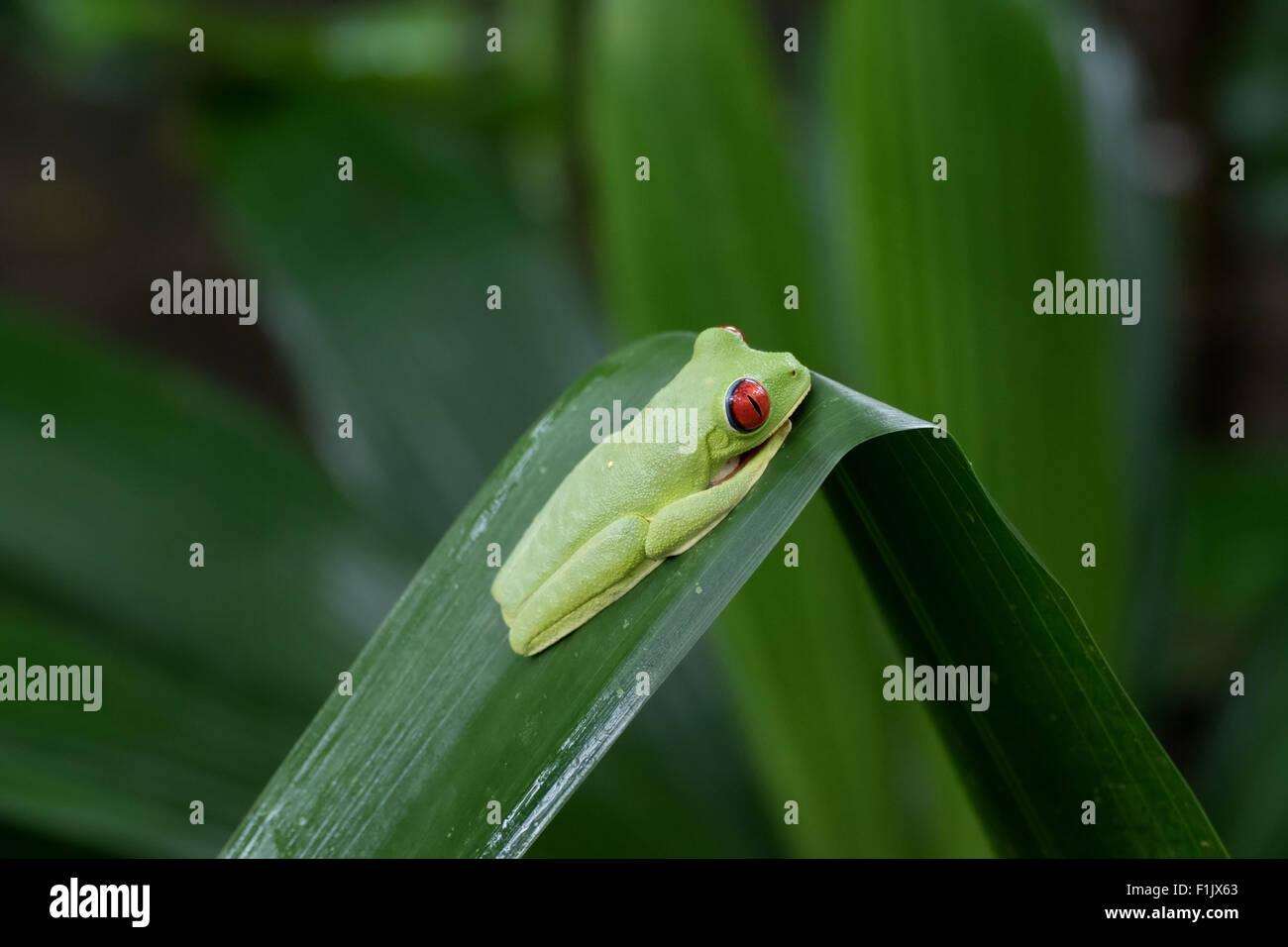 Red-eyed tree frog (Agalychnis callidryas) near Cahuita National Park, Costa Rica. Wild animal, fauna, wildlife, - Stock Image