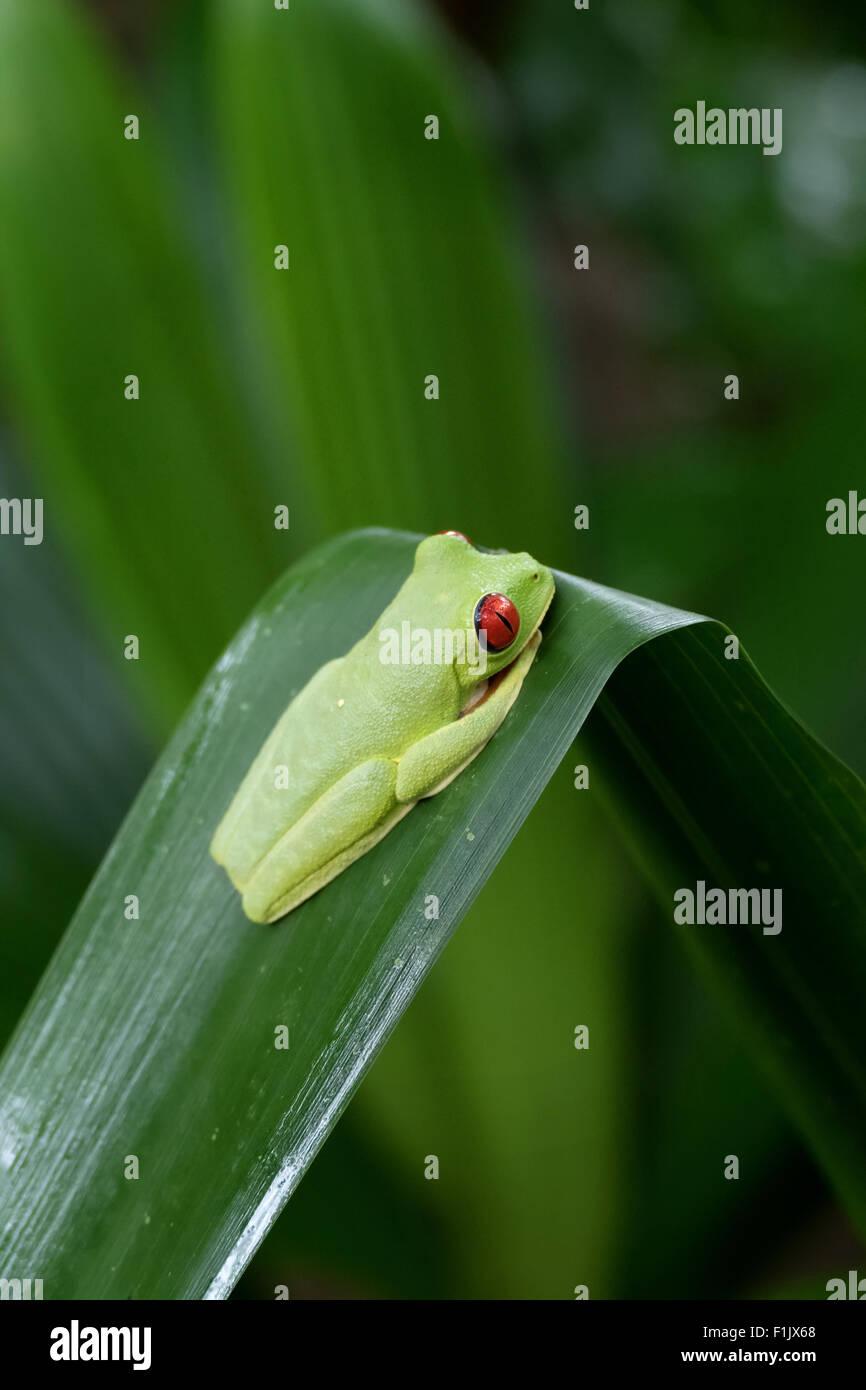 Red-eyed tree frog (Agalychnis callidryas) near Cahuita National Park, Costa Rica. Wild animal, fauna, nature, amphibian - Stock Image
