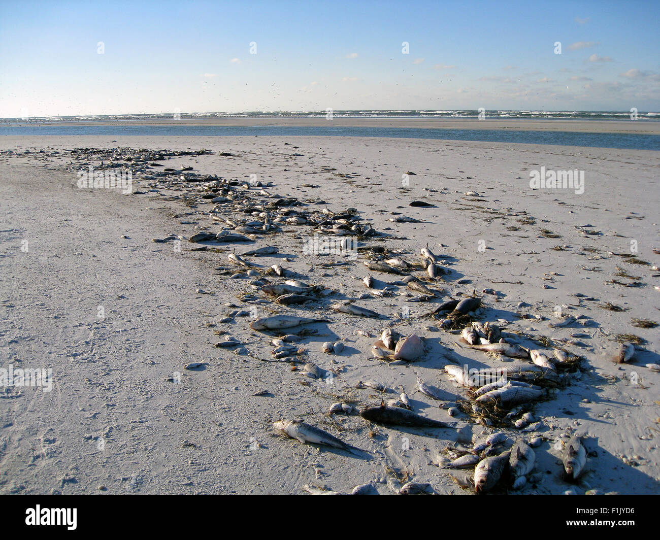 Hundreds of dead fish from the Gulf of Mexico killed by a red tide are washed up on Siesta Beach at Sarasota, Florida, - Stock Image