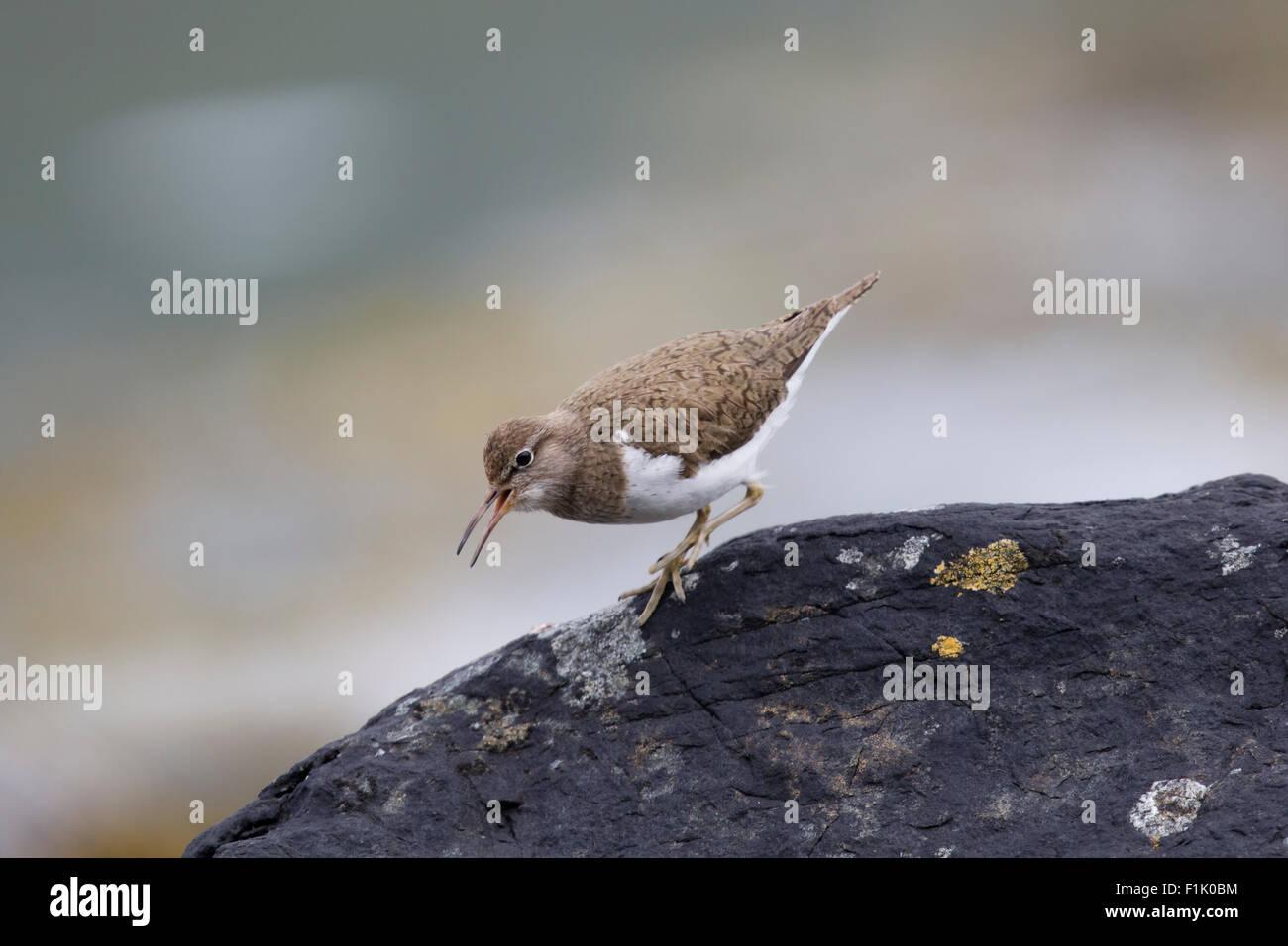 Common Sandpiper - on lochside breeding grounds Actitis hypoleucos Isle of Mull Scotland, UK BI027905 - Stock Image
