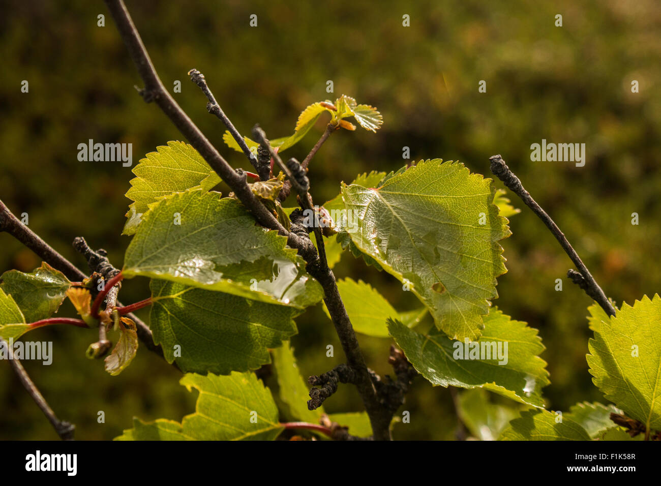 Close-up of birch leaves with water droplets - Stock Image