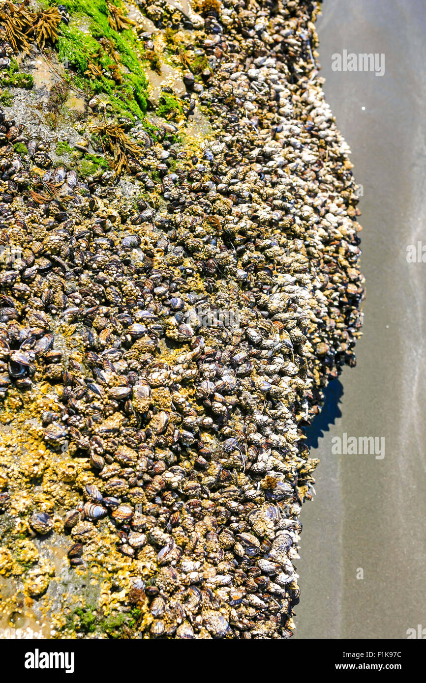 Barnacles and other crustaceans living on a rock that is visable at low tide on the Pacific coastline - Stock Image