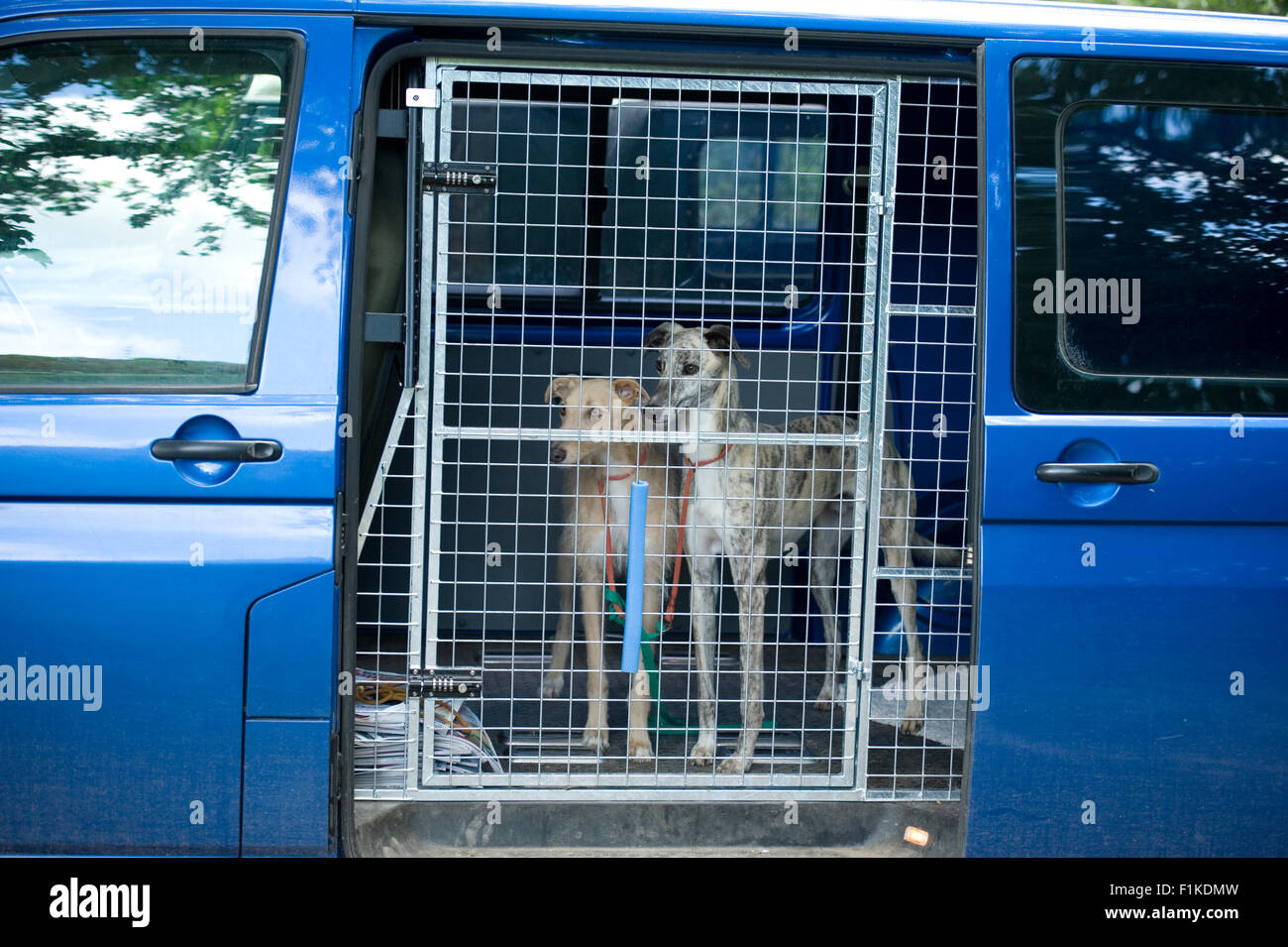 two dogs secured in a vehicle - Stock Image
