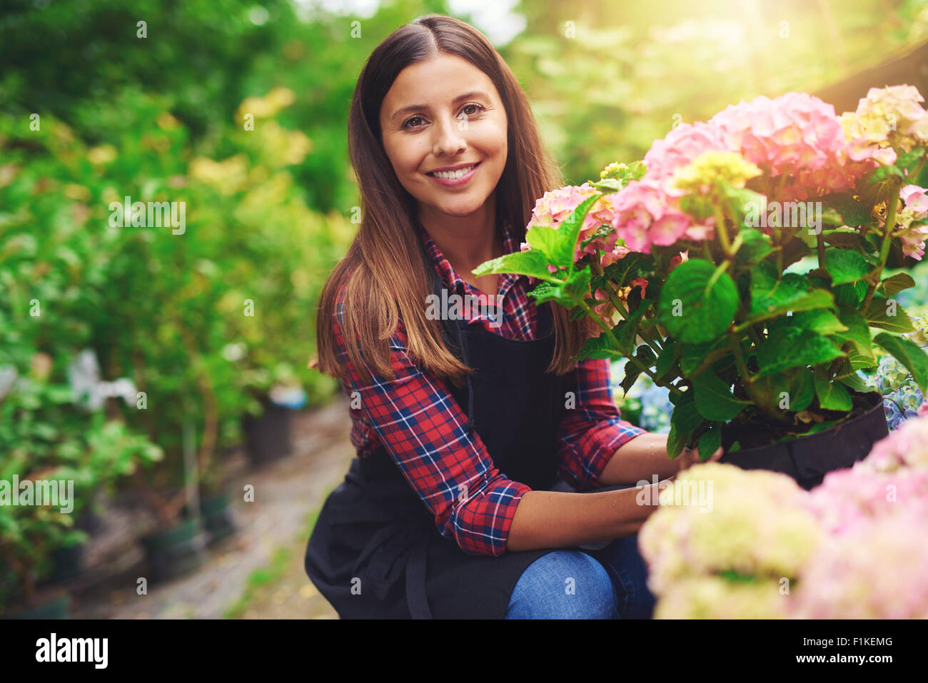 Smiling happy woman displaying a pink hydrangea plant that she has selected from amongst the plants on display at - Stock Image