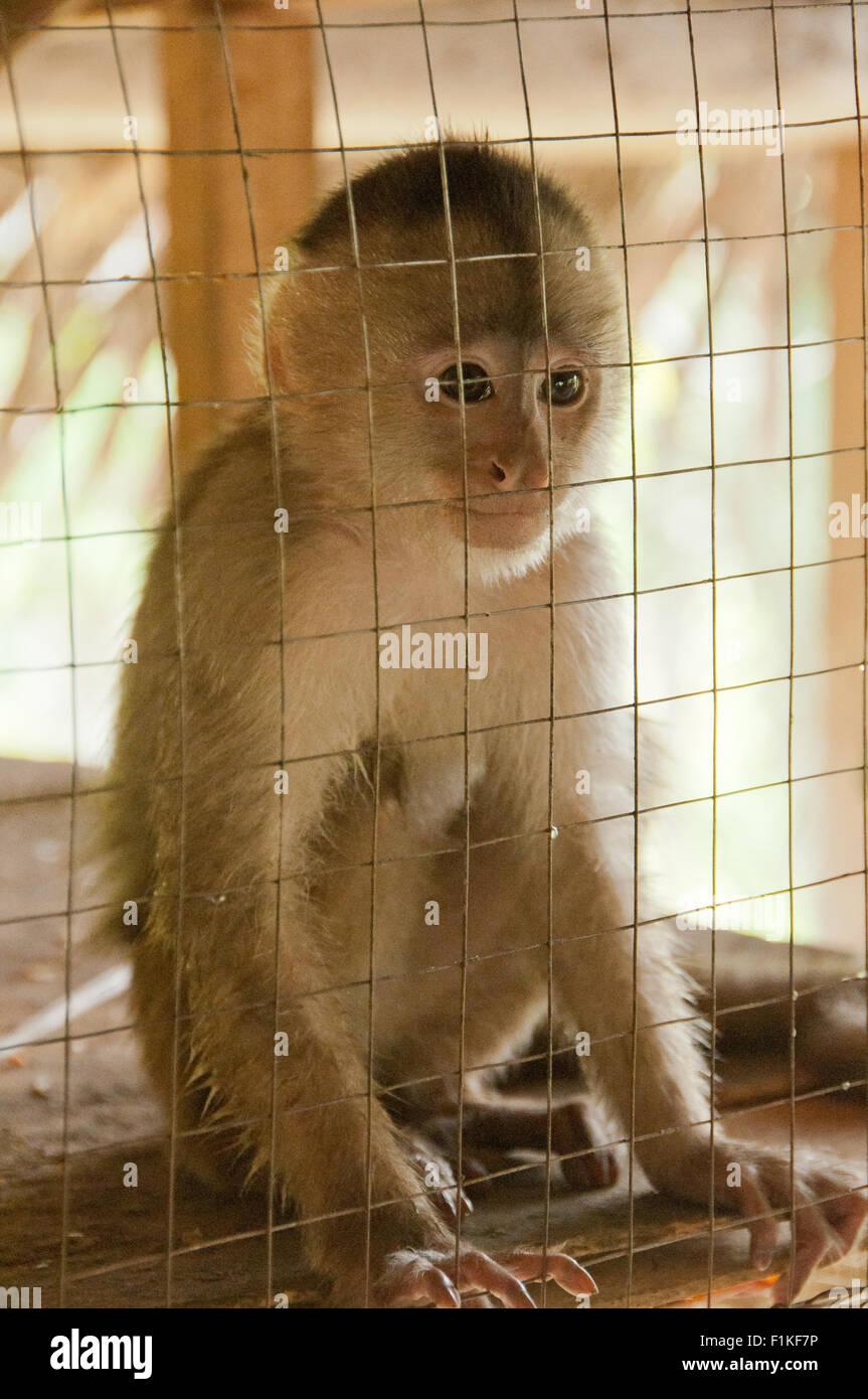 Rescued Capuchin monkey in captivity in Peru Stock Photo