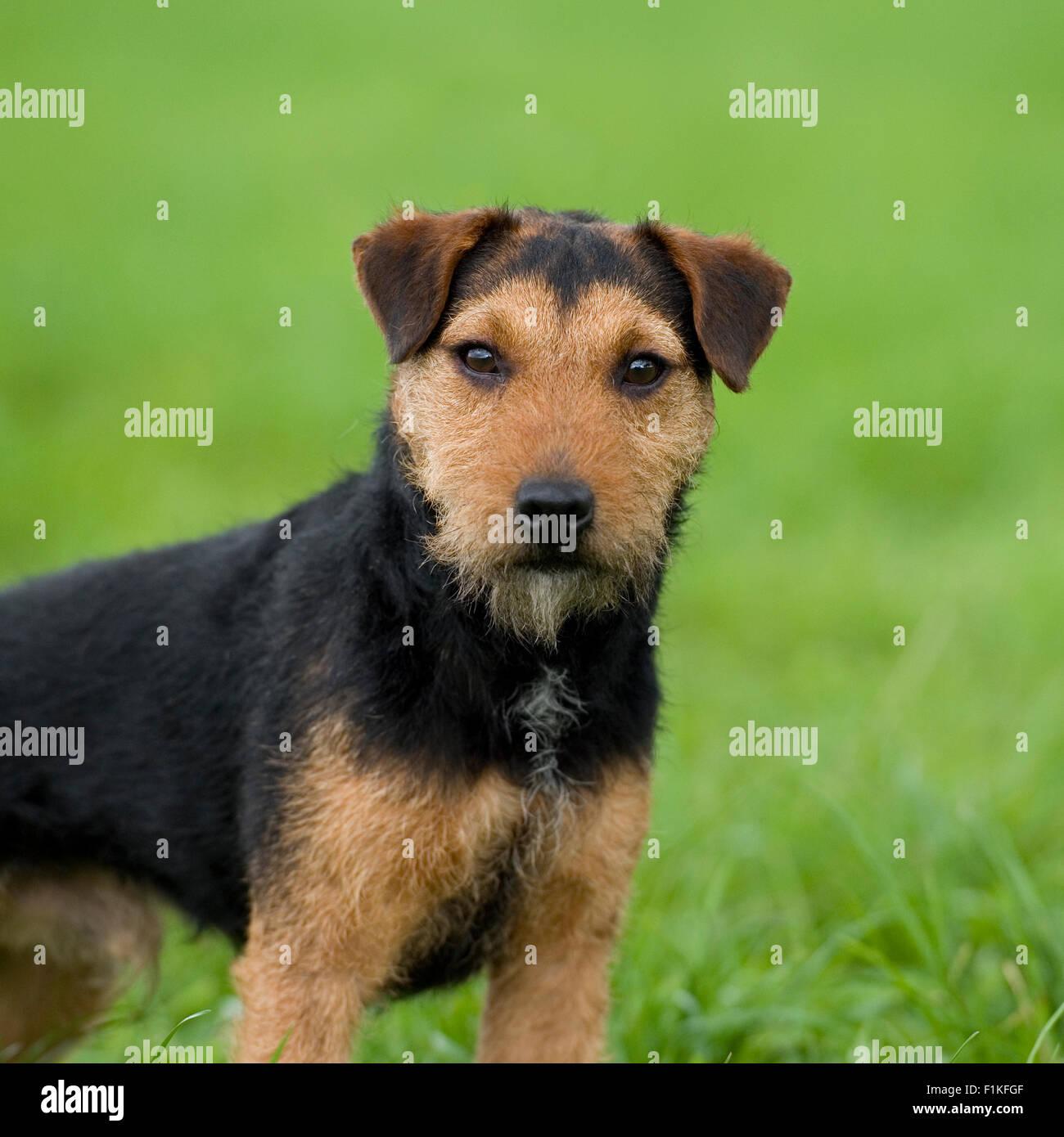 working lakeland terrier - Stock Image