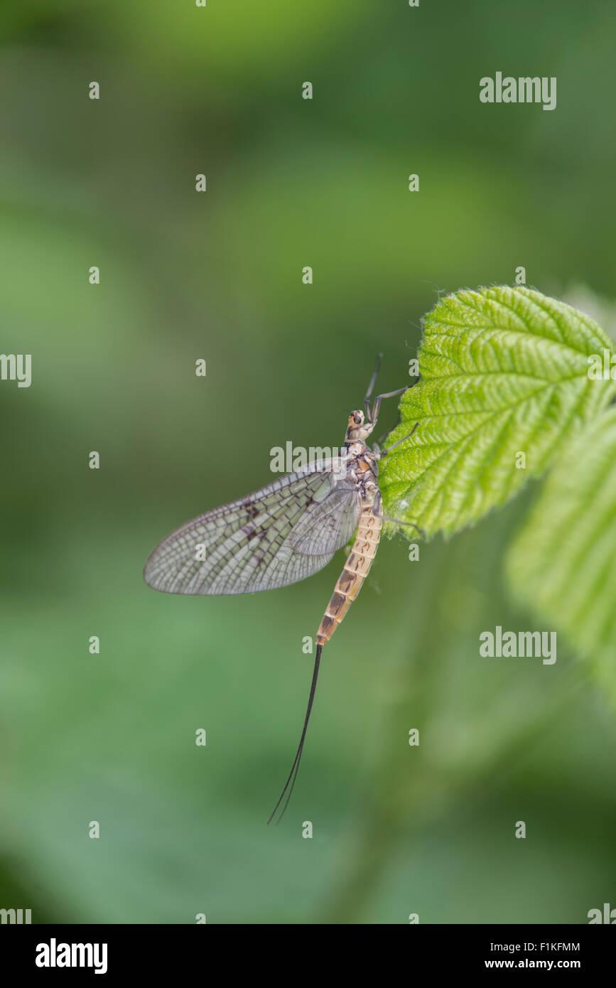 Mayfly: Ephemera danica - Stock Image