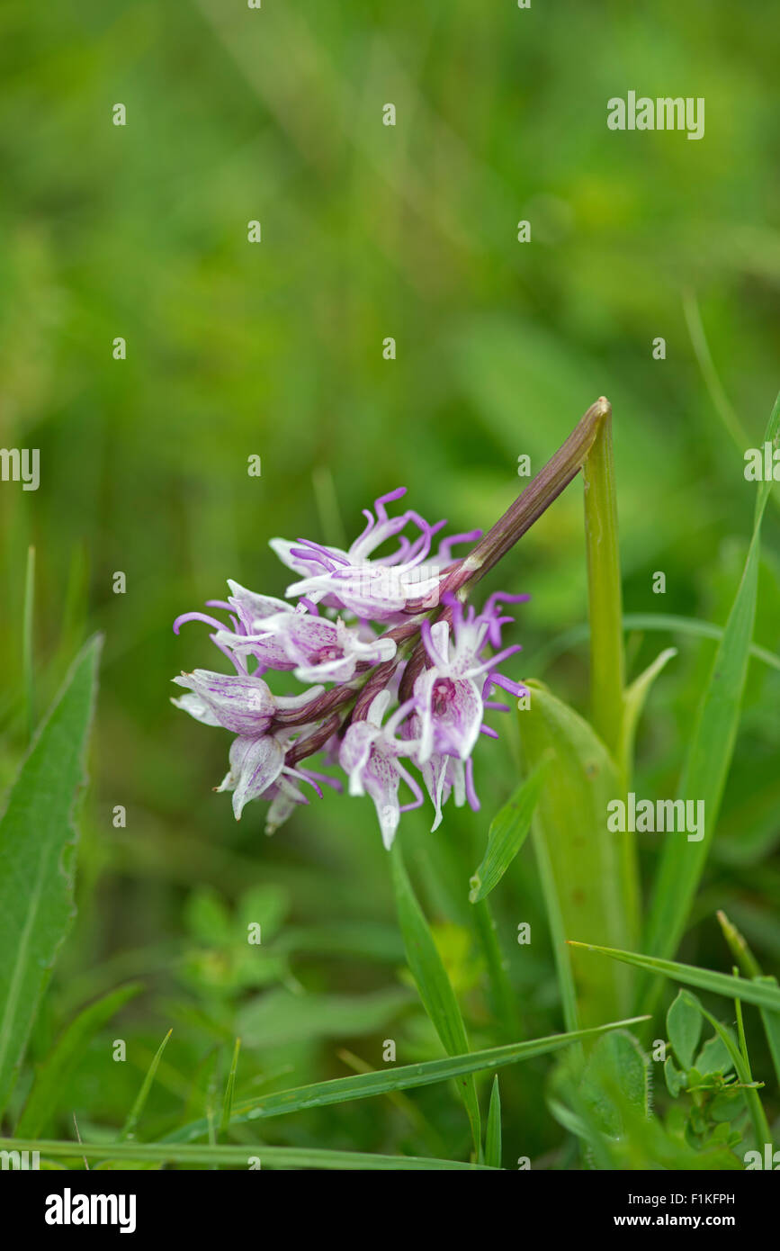 Monkey Orchid: Orchis simia. Buckinghamshire, England. Trampled by careless photographer. - Stock Image