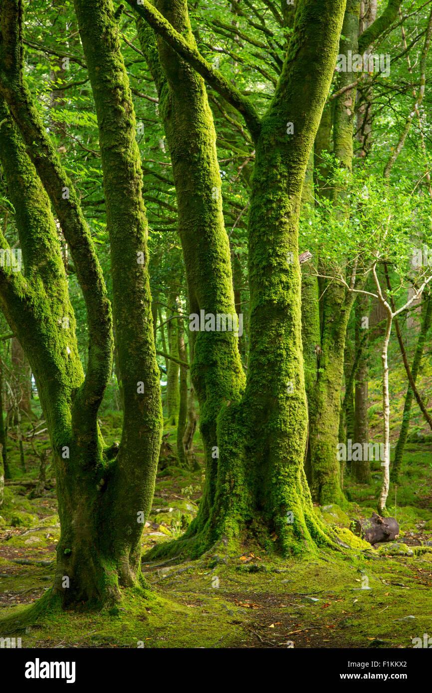 Mossy trees in Killarney National Park, County Kerry, Ireland - Stock Image