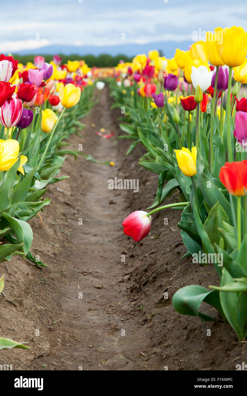 A red tulip bends over into the dirt row between planted groups of multi-colored tulip flowers. - Stock Image