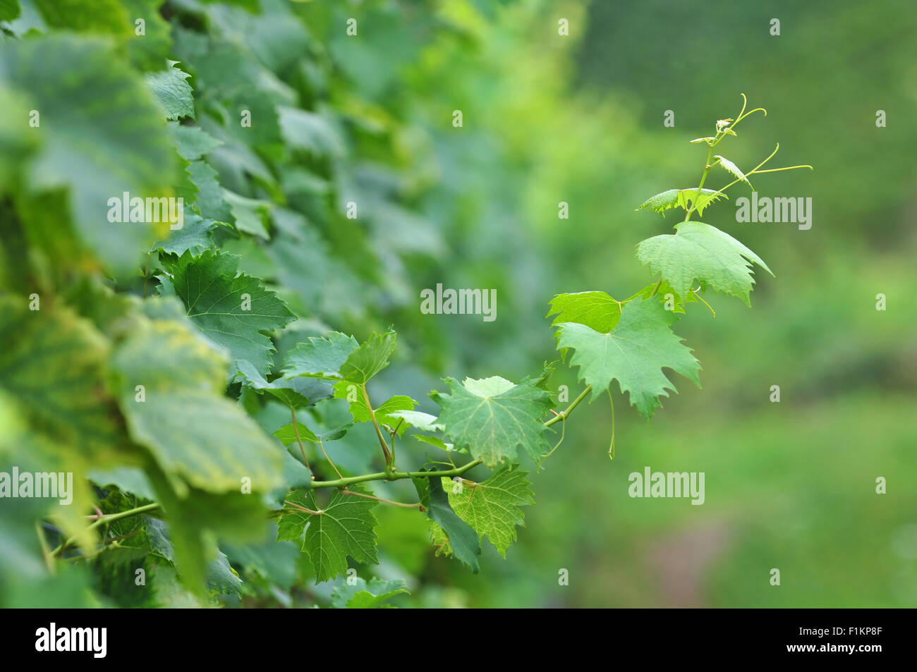 Grapevine twig - Stock Image