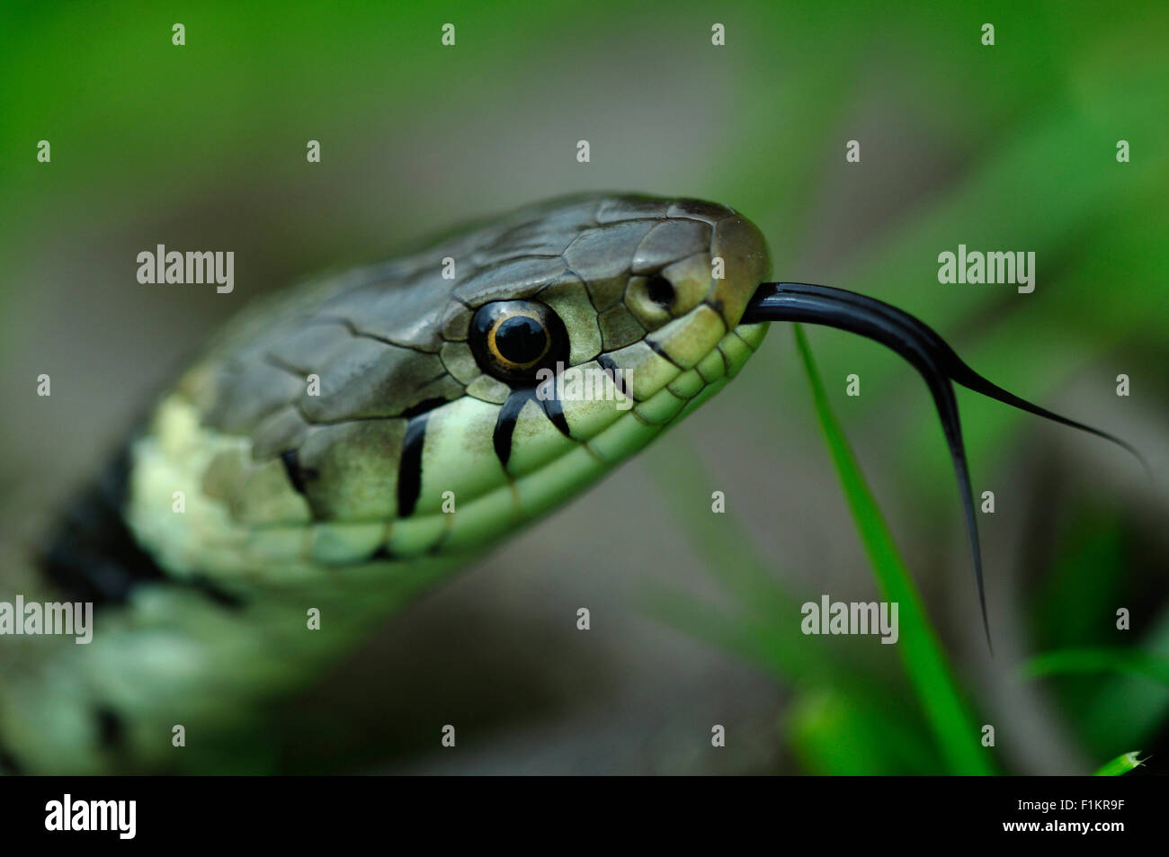 Grass snake head with its forked tongue out UK - Stock Image