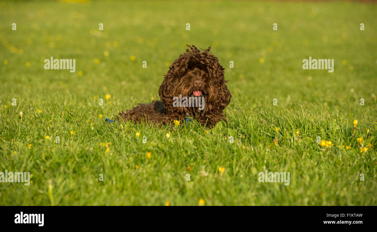 A cute Cockapoo relaxing in a park - Stock Image