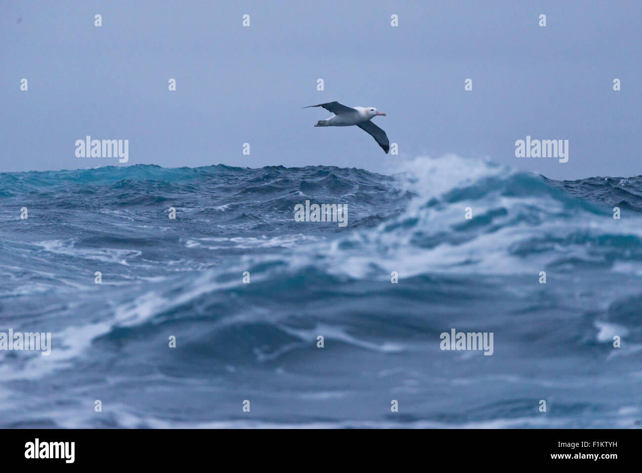 A wandering albatross, Diomedea exulans, in the Drake Passage, Antarctica - Stock Image