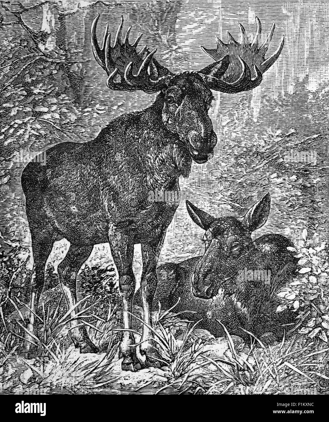 An Elk or Moose in Northern Canada - Stock Image