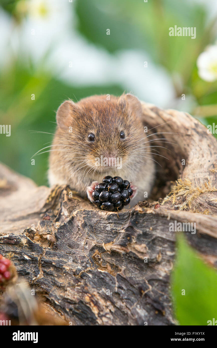 Bank vole (Myodes glareolus) feeding on blackberries - Stock Image