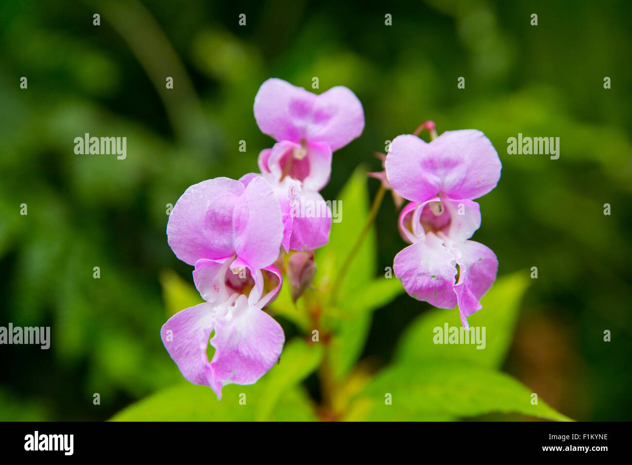 Close up photograph of Himalayan Balsam pink flowers in full bloom. Stock Photo