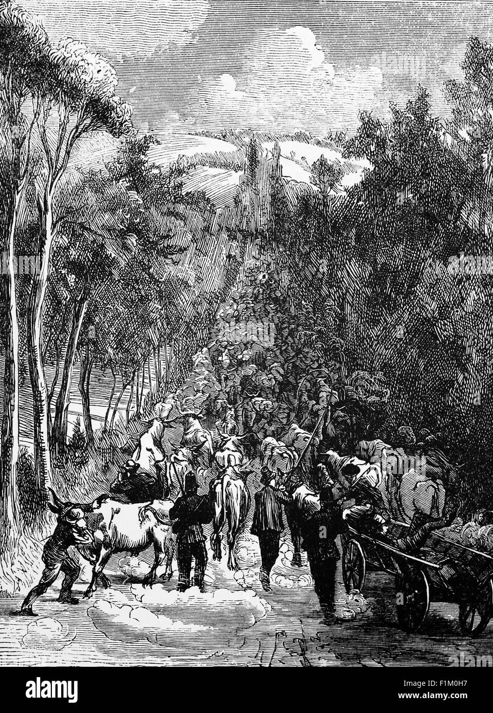 Driving Cattle for the Army  during the Franco-Prussian War of 1870-1871. - Stock Image