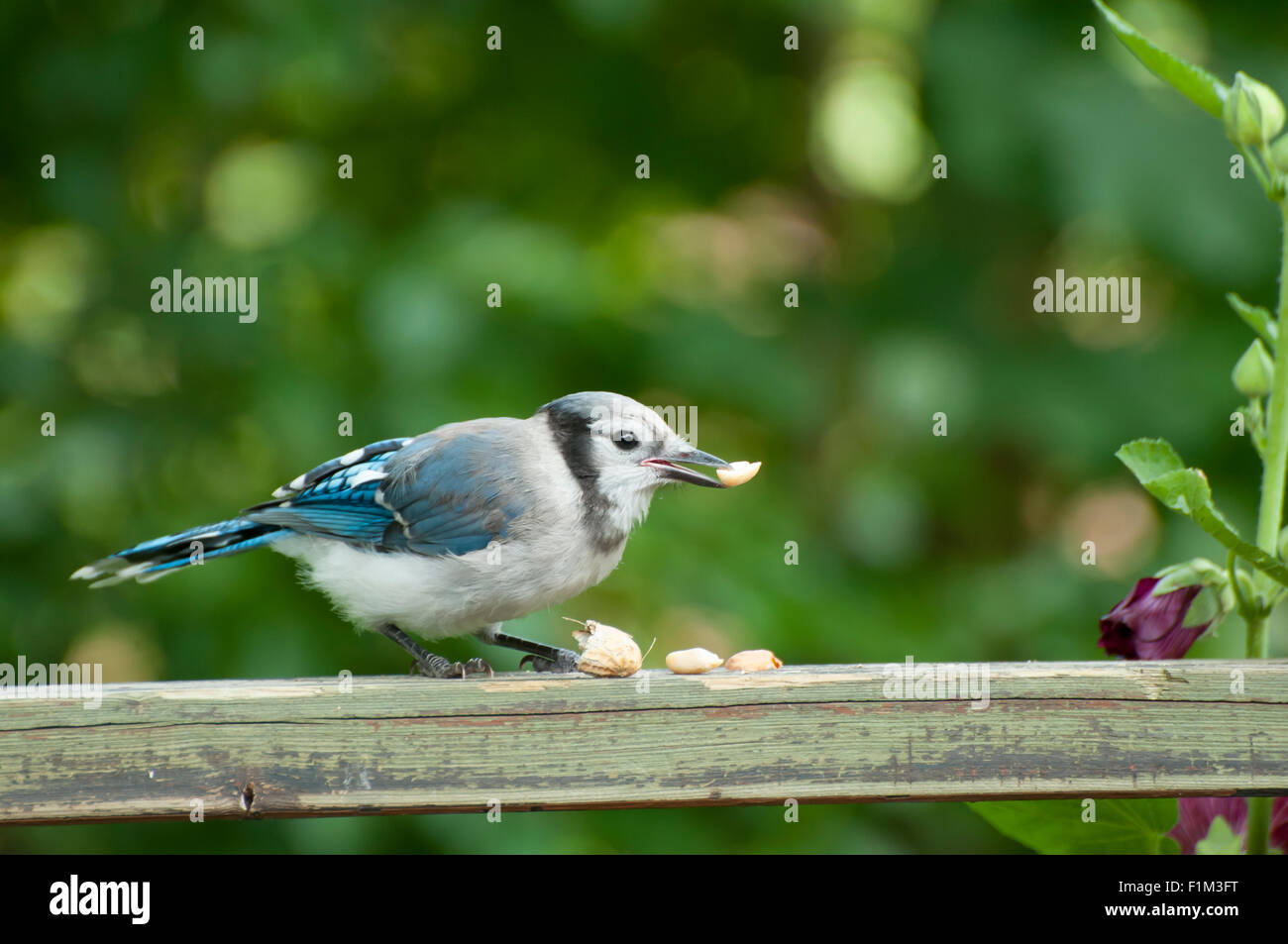 Blue Jay Stock Photo