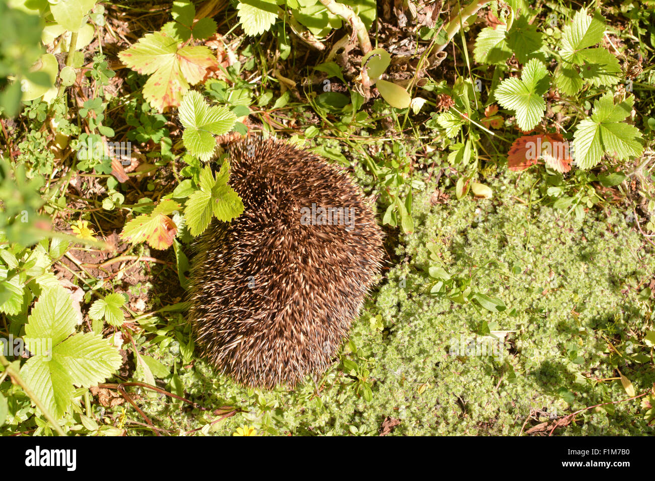 small, very probably sick, hedgehog curled up in the sun trying to keep warm - Scotland, UK - Stock Image