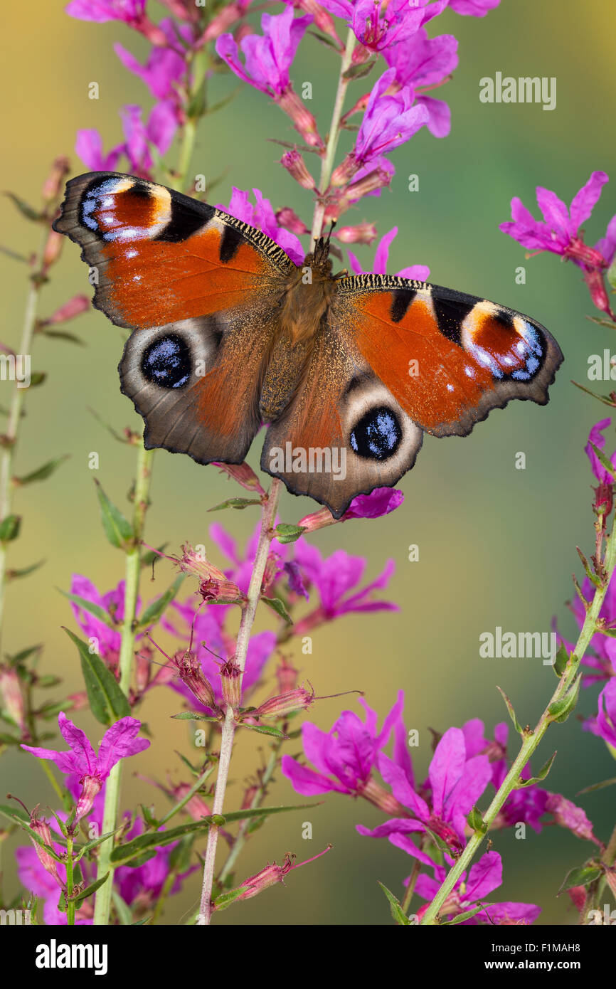 Peacock moth, peacock, visiting a flower, Tagpfauenauge, Blütenbesuch, Nektarsuche, Tag-Pfauenauge, Inachis - Stock Image