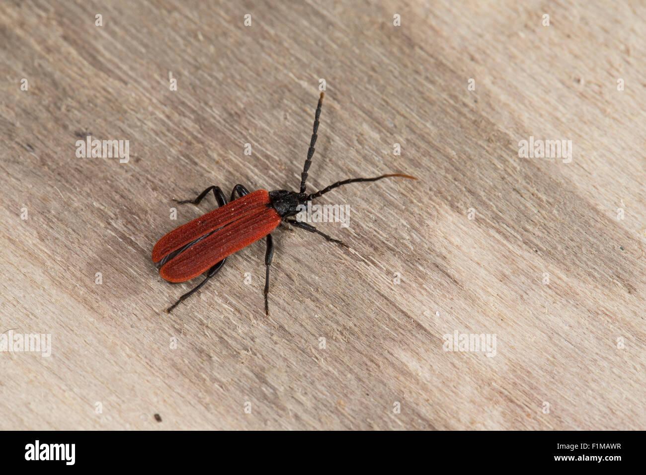 Stunning beetle, net-winged beetle, Black-neck Lycus, Rotdeckenkäfer, Rotdeckenkäfer, Platycis minutus, - Stock Image