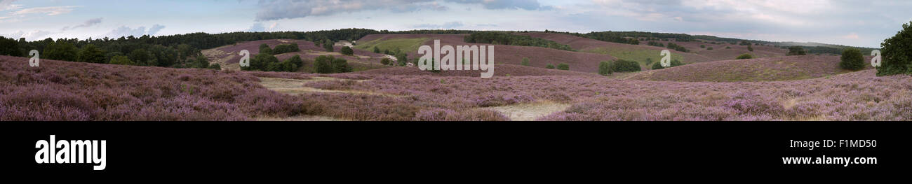 Panorama of endless hills full with blooming heather, Nationalpark Veluwe, Netherlands. Stock Photo